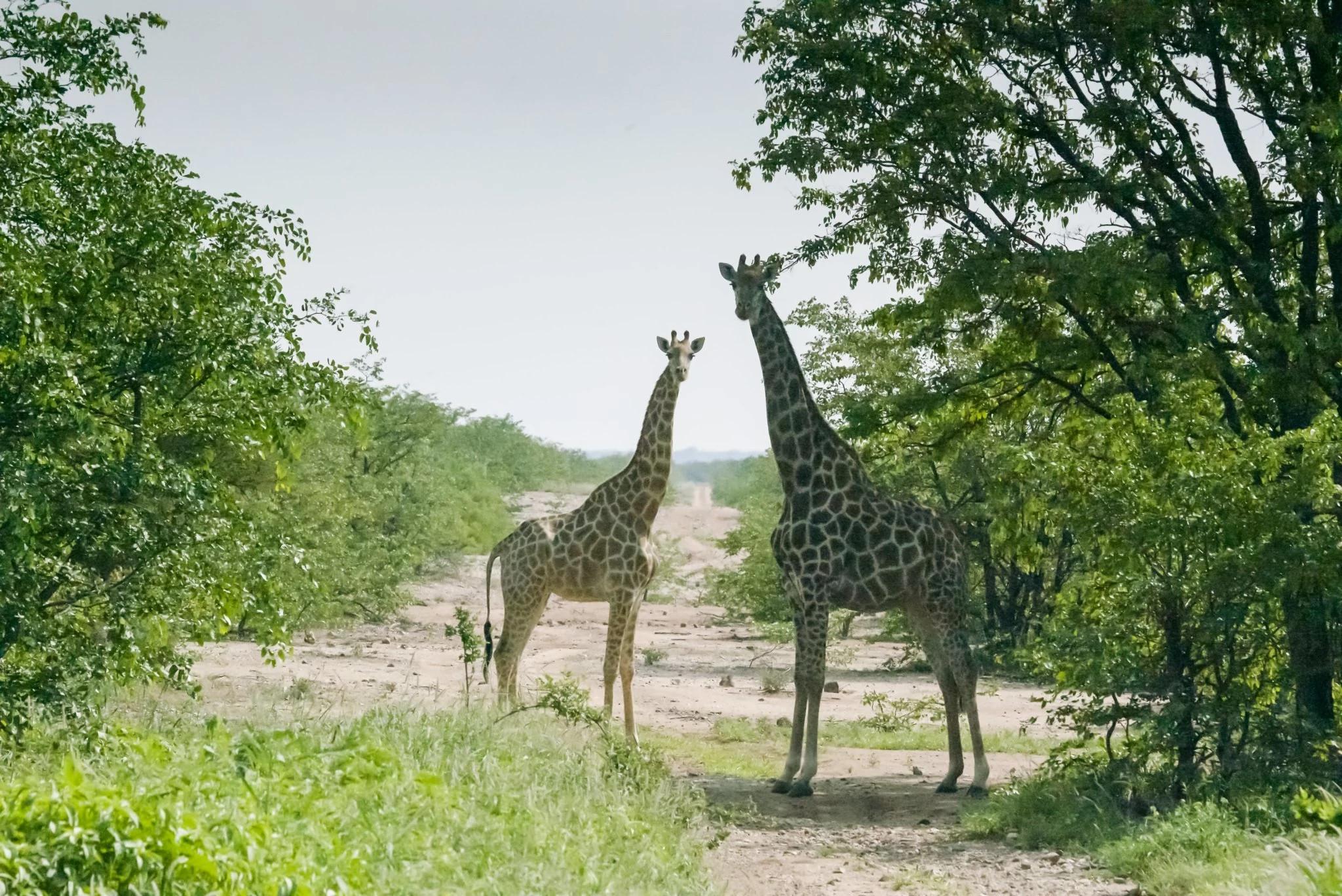 生活在维提阿林波波自然保护区的长颈鹿