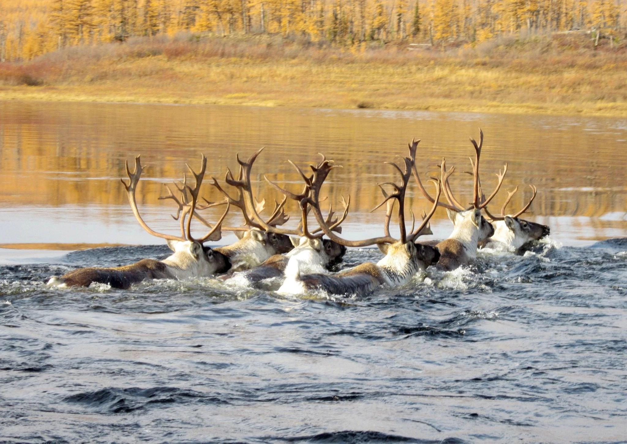 雅库特自然公园里正在游泳的驯鹿