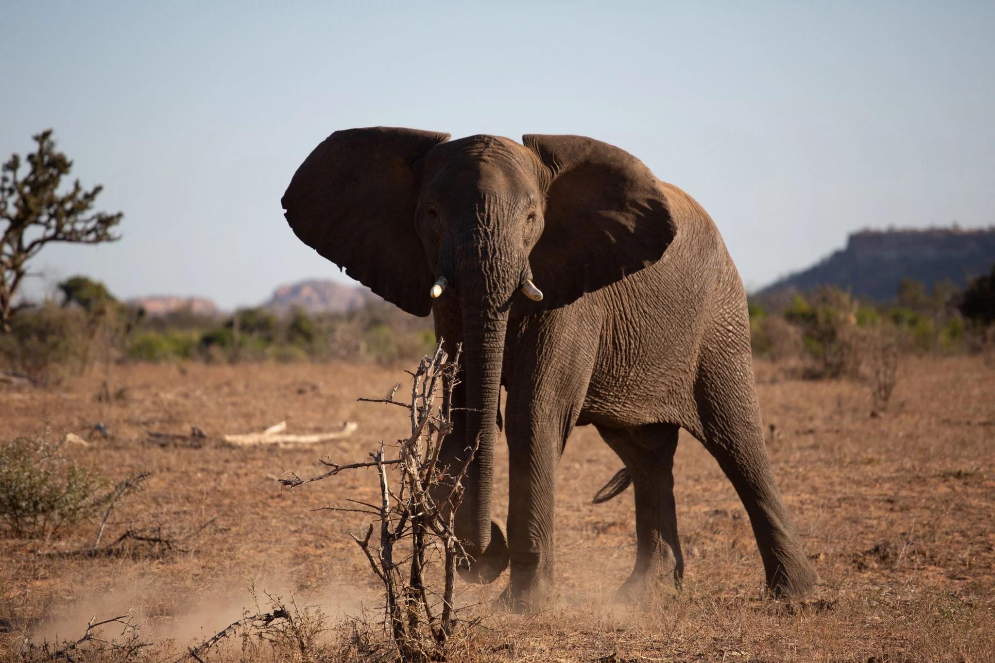 栖息于维提阿林波波自然保护区的一头大象