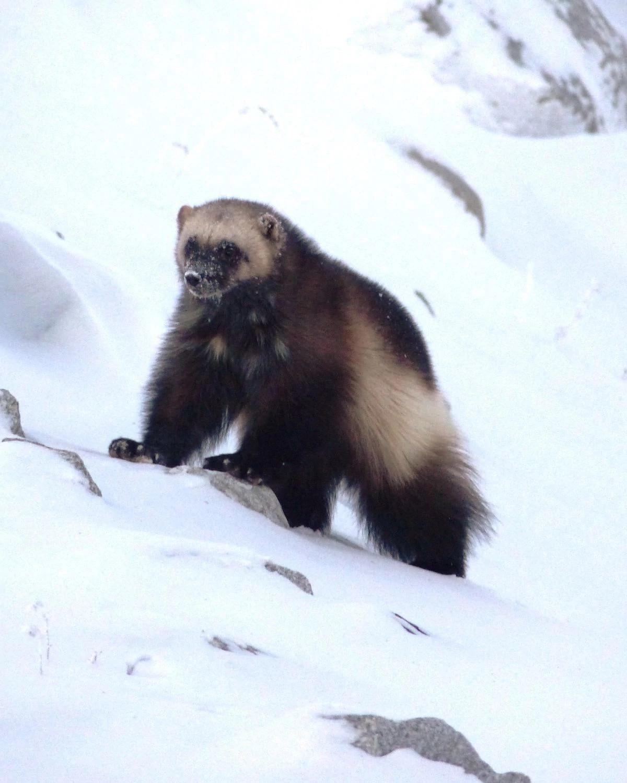 一只狼獾在加拿大戴维科钻石矿所在的平原雪地上散步